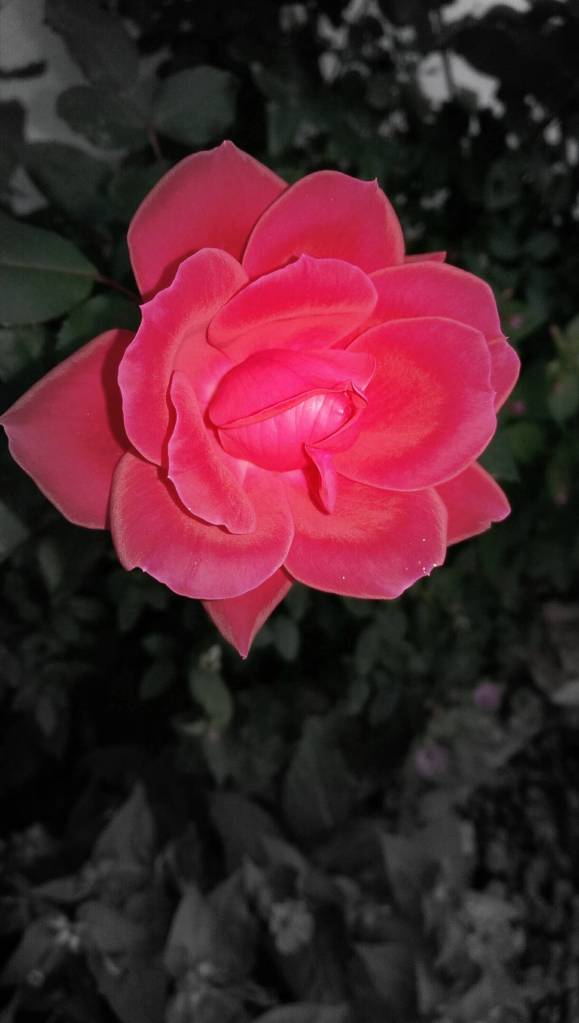 bwcolorrose