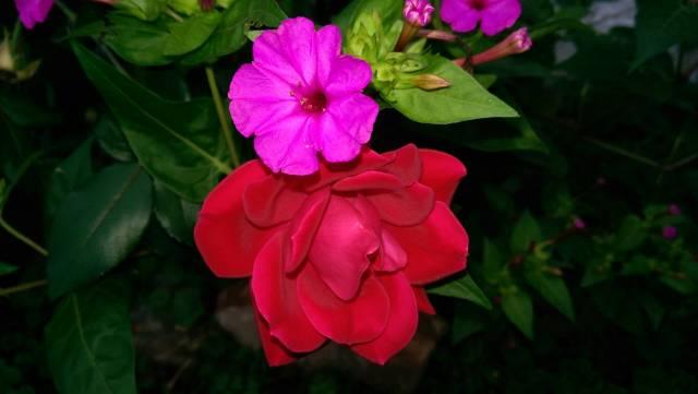 geraniumrosefront