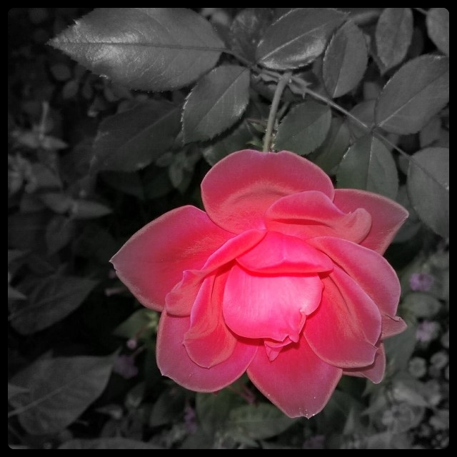 Knockout Rose BW/Color combo shot