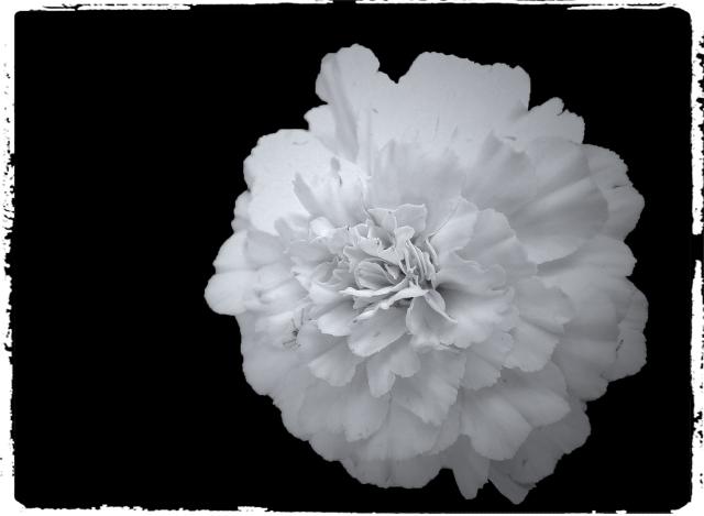 geranium_bw