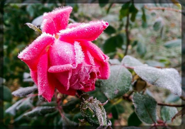 k-o_rose
