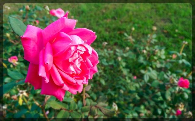 k-o_rose1