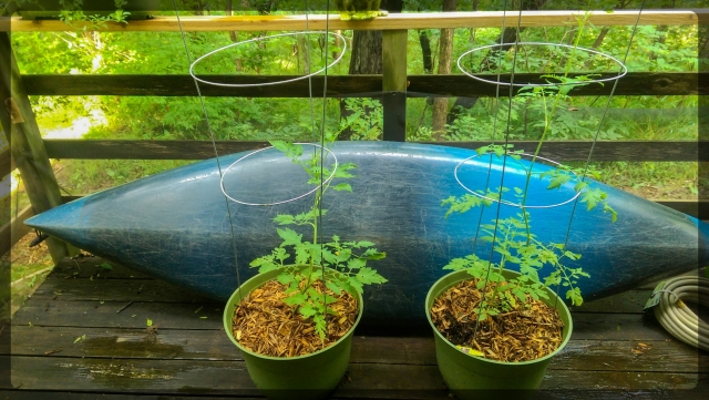 Roma, heirloom, and grape tomato plants.