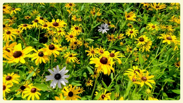 Black Eyed Susans edited in Avery.