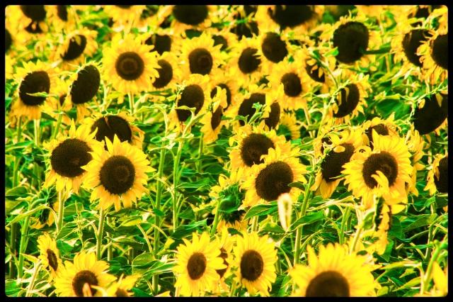 20150722flower