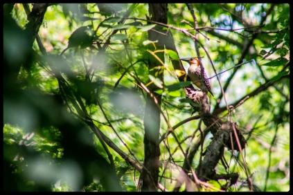 20150726woodpecker
