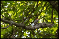 20150726woodpecker1