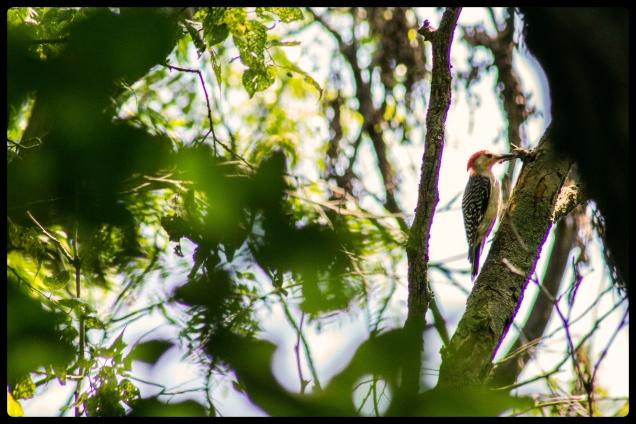 20150726woodpecker3